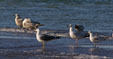 Lesser Black-backed Gull, Larus fuscus